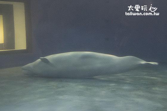 白鯨是非常吸睛的海底生物