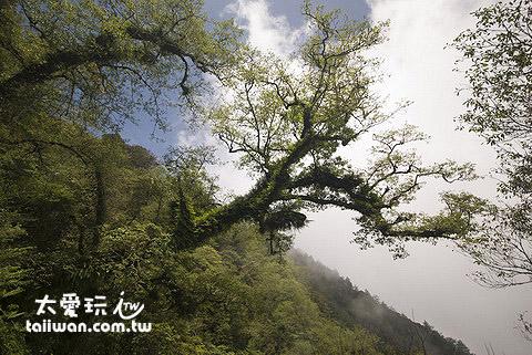 非常原始的檜山巨木森林群步道