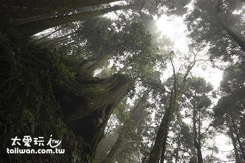 檜山巨木森林群步道千年紅檜