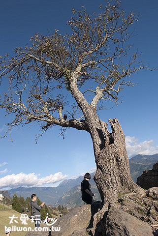 清境農場鐵杉區美麗的大樹