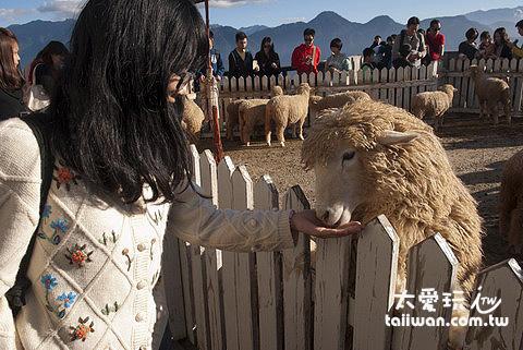 清境農場餵羊