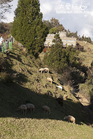 清境農場的羊群