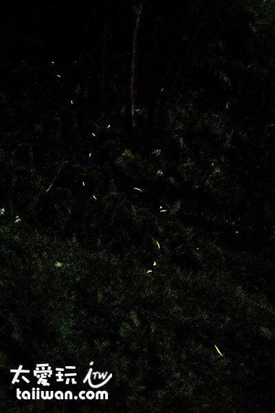 比較成功的一張螢火蟲照片