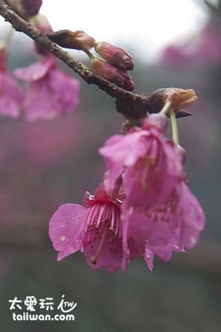 烏來山櫻花