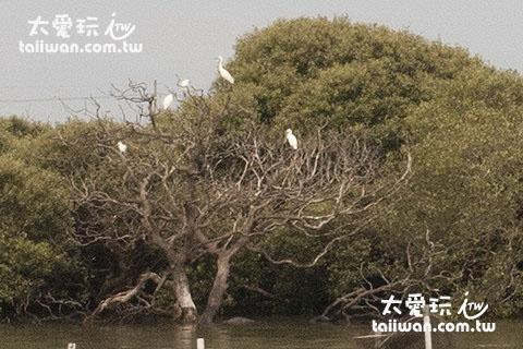 紅樹林與白鷺鷥