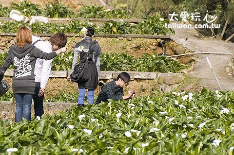 竹子湖採海芋