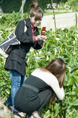 竹子湖塞滿前來賞海芋的民眾