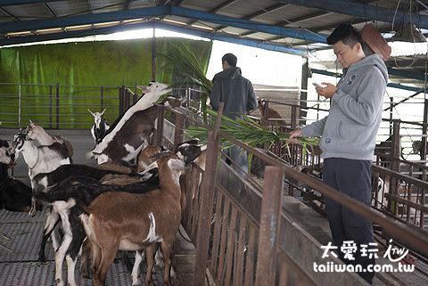 宜農牧場餵食山羊