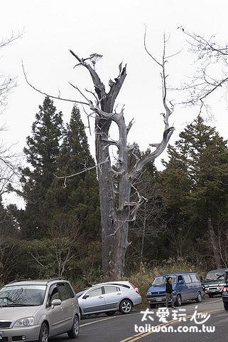 太平山巨木