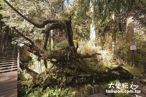 太平山原始森林步道