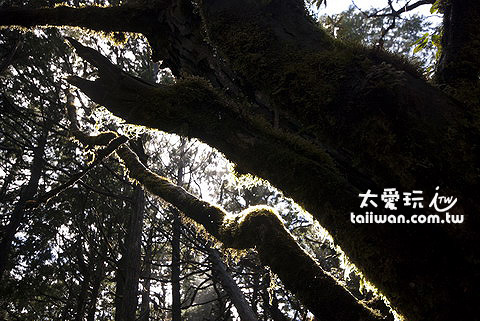 太平山原始森林